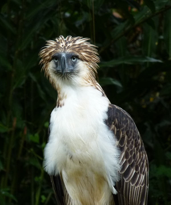 pambansang ibon philippine eagle agila